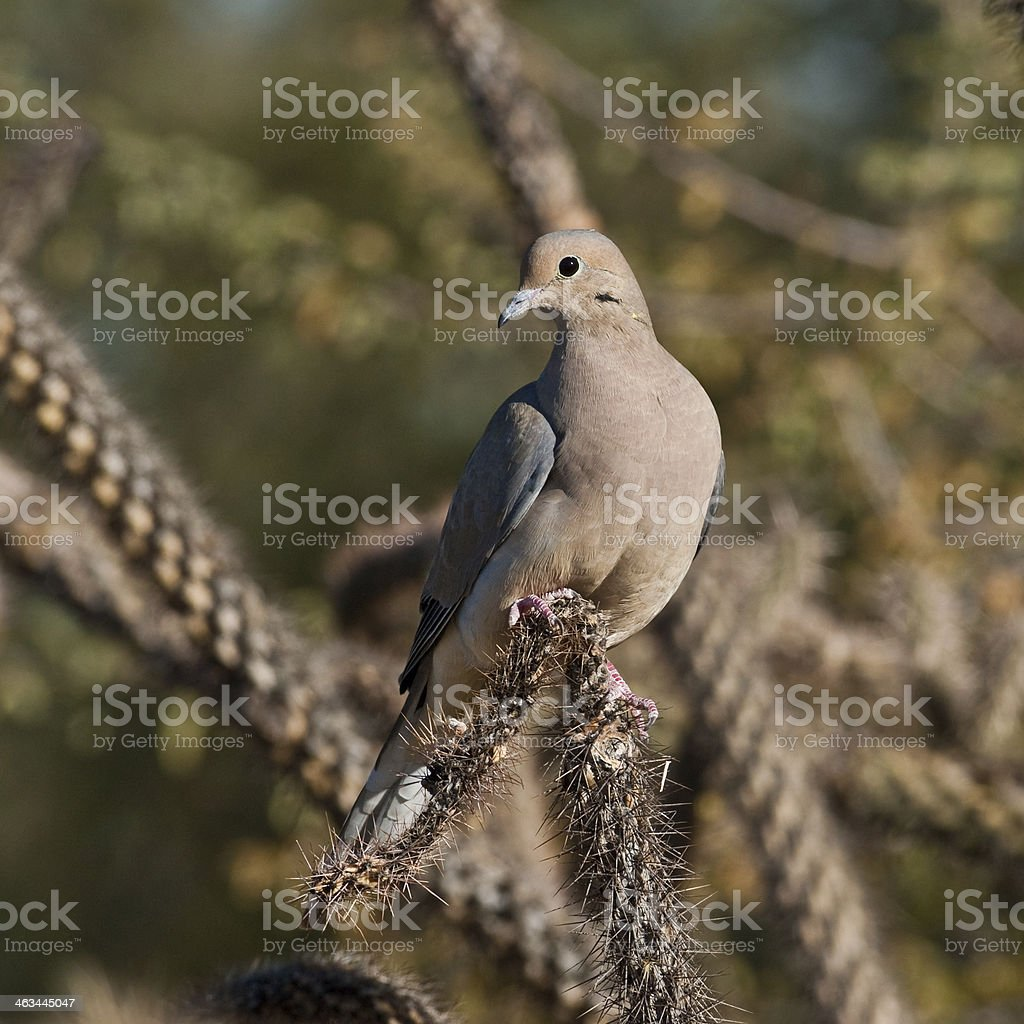 Mourning Dove on a Cactus royalty-free stock photo