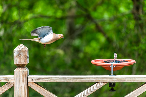 Mourning dove one bird flying over wooden railing deck or porch of house in Virginia summer with green forest foliage background towards solar water fountain