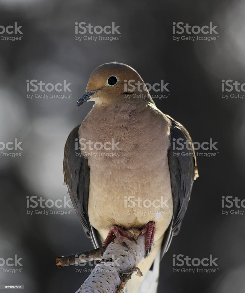 Mourning Dove Perched on Branch royalty-free stock photo
