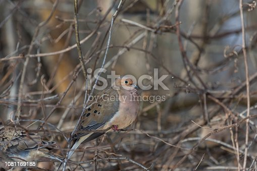 The Mourning Dove is a member of the Dove family,. The bird is also known as the Turtle Dove, American Mourning Dove or the Rain Dove, and was once known as the Carolina Pigeon or Carolina Turtledove.