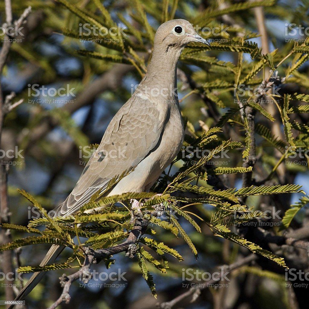 Mourning Dove royalty-free stock photo