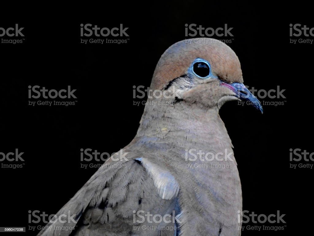 Mourning Dove Profile royalty-free stock photo