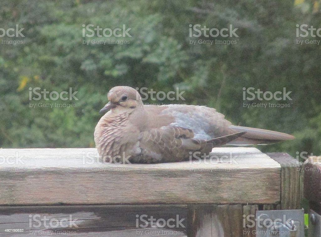 Mourning Dove, Sitting on a Wooden Rail stock photo