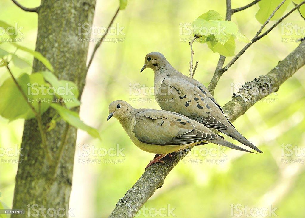 Mourning doves royalty-free stock photo