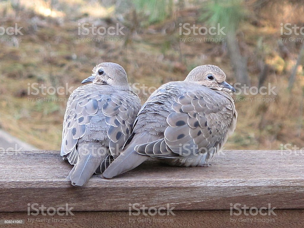 Mourning Doves Scan the Backyard stock photo