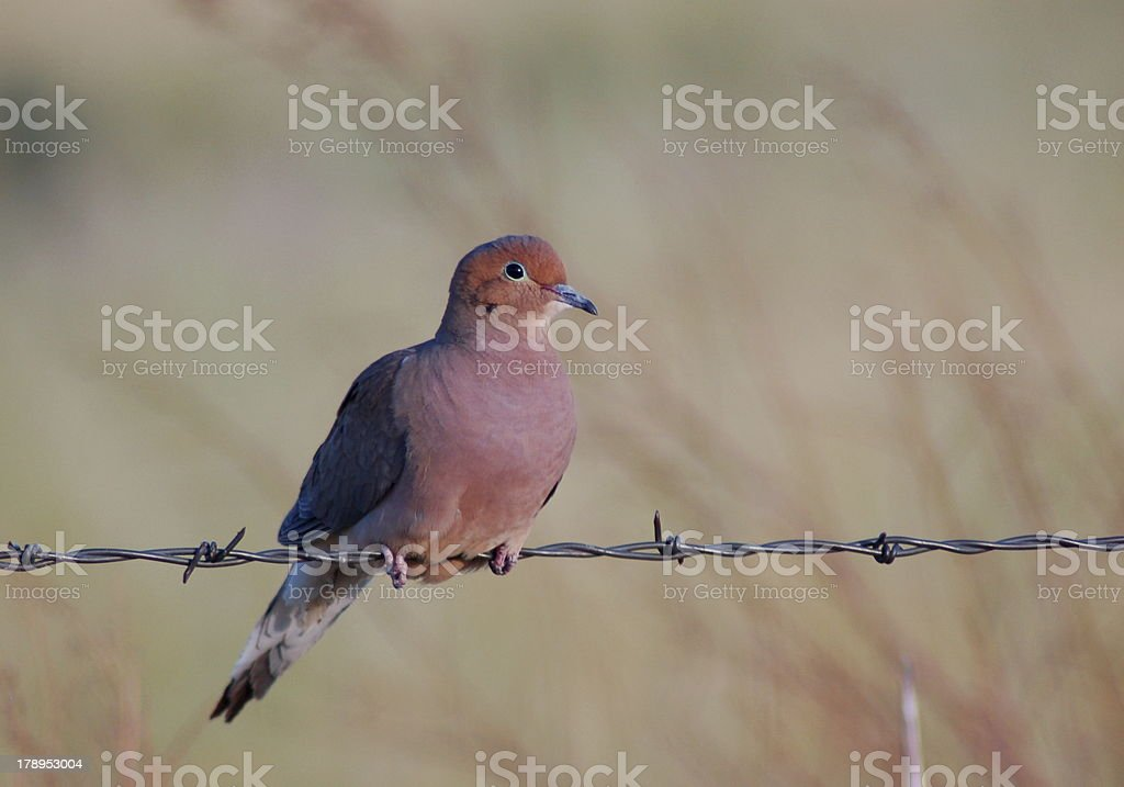 Mourning Dove royalty-free stock photo