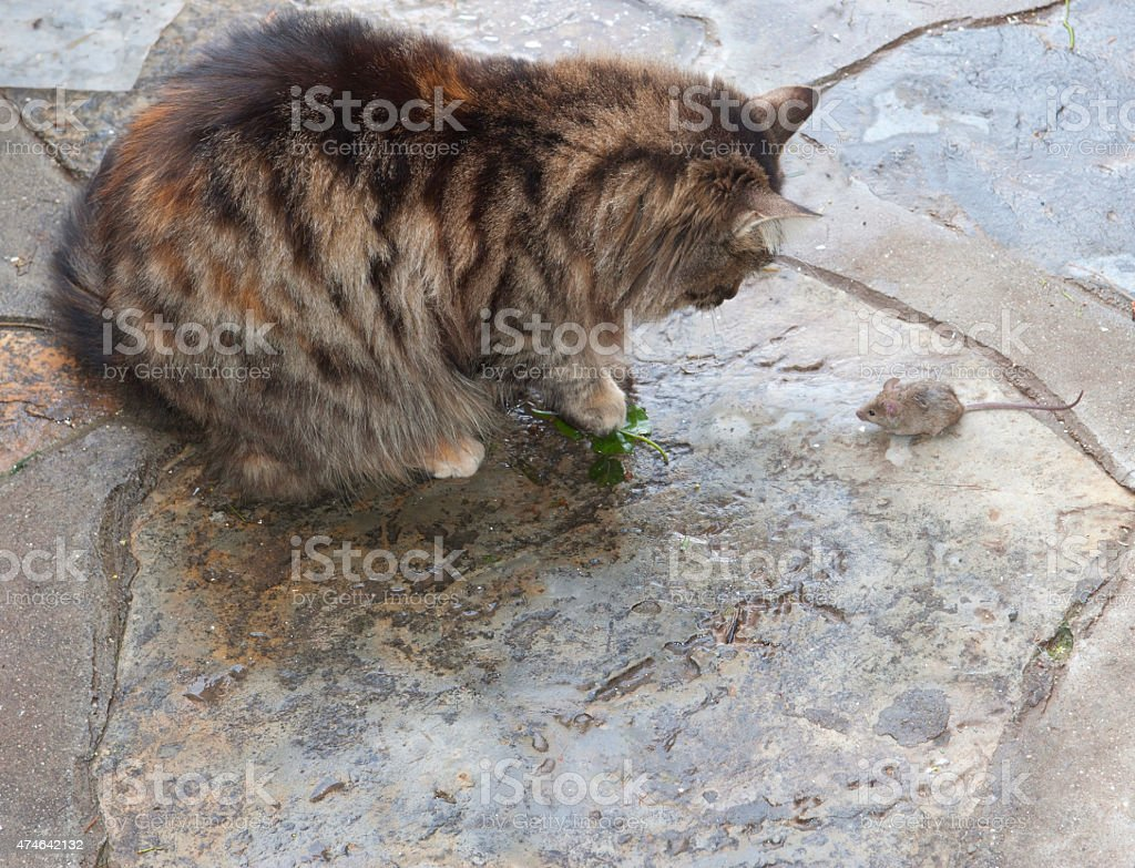 Mouse and cat stock photo