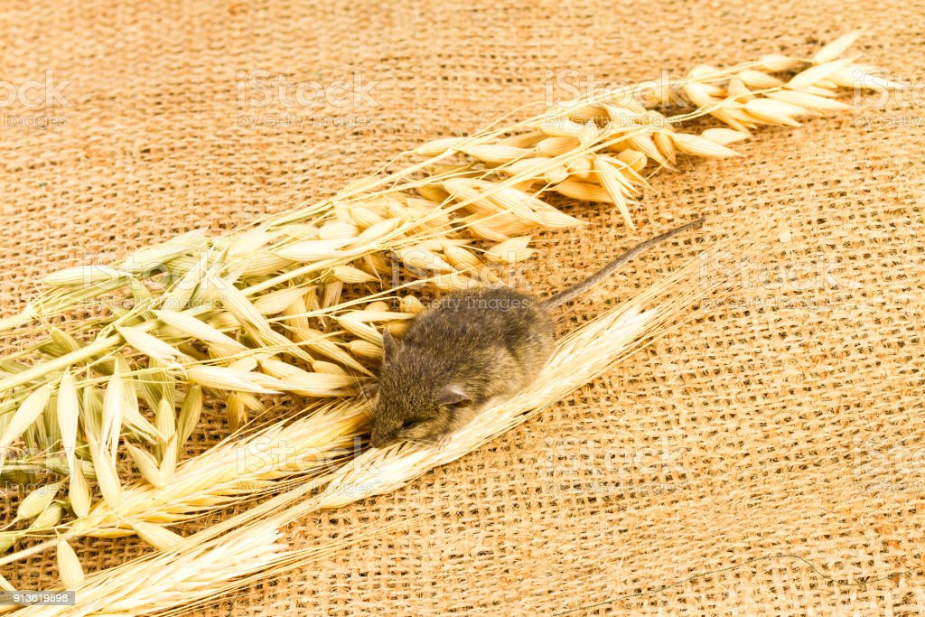 mouse and spikelets of cereals stock photo