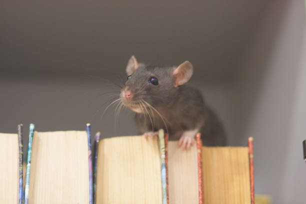 mouse. black rat in the bookcase. symbol of the 2020 stock photo