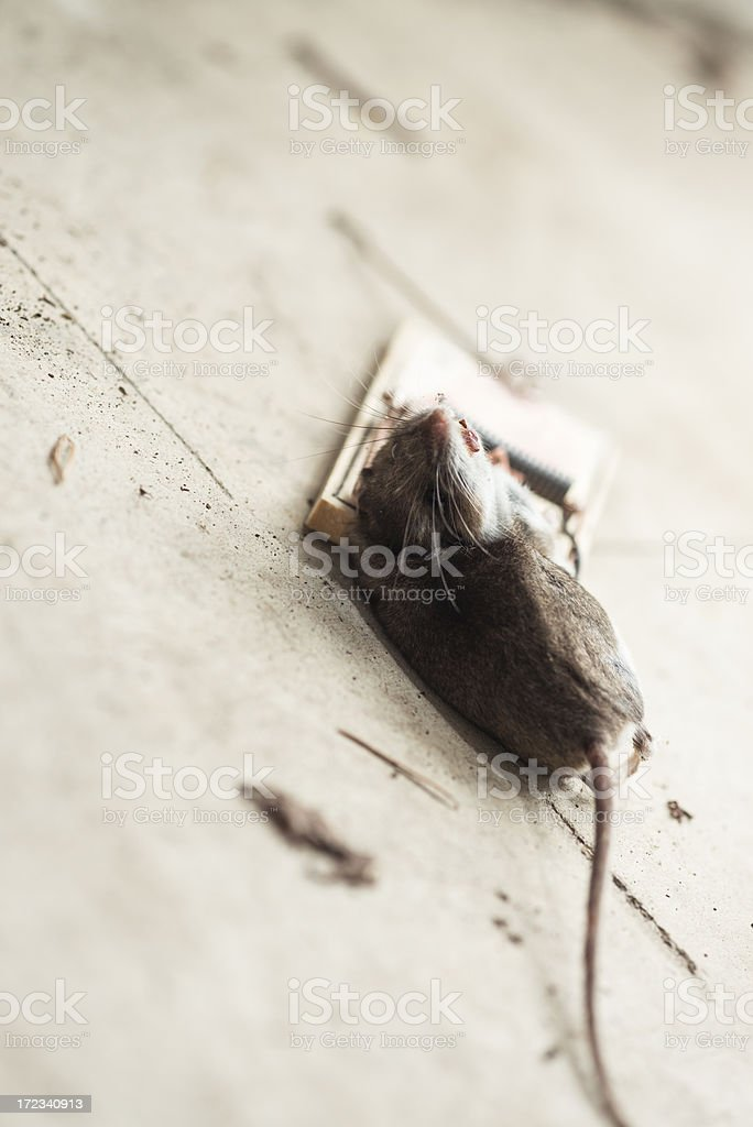 Mouse caught in a trap royalty-free stock photo