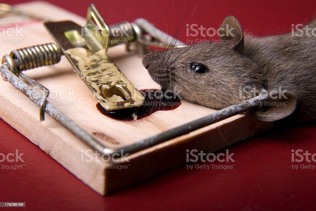 Mouse caught royalty-free stock photo