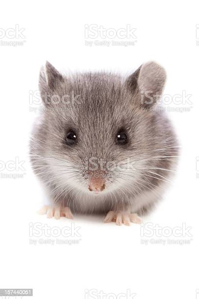 Mouse close up picture id157440051?b=1&k=6&m=157440051&s=612x612&h=x hocesir43odlucfhbbmigvnruadv4iyodfjbxh bk=