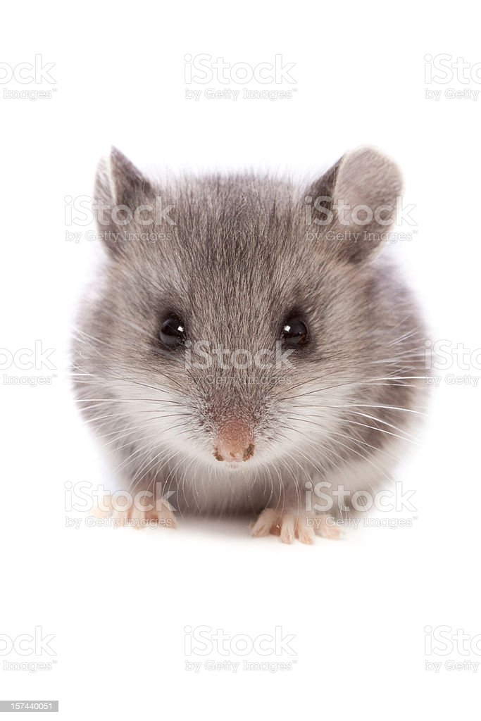 Mouse Close Up stock photo