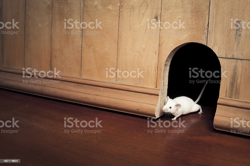 mouse coming out of it's hole stock photo