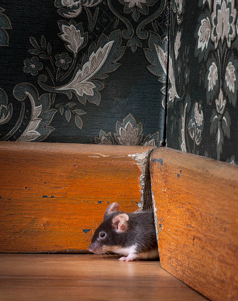 mouse coming out ot her hole in old-fashioned room  rodent stock pictures, royalty-free photos & images