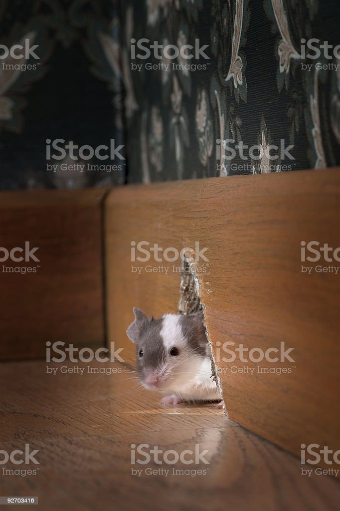 mouse coming out ot her hole stock photo