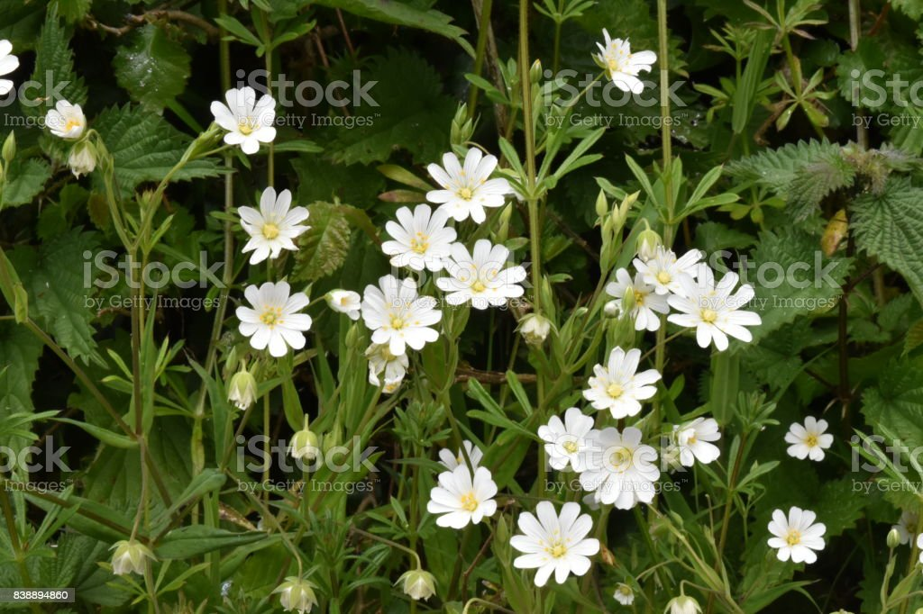 Mouse eared chickweed (Cerastium fontanum) stock photo