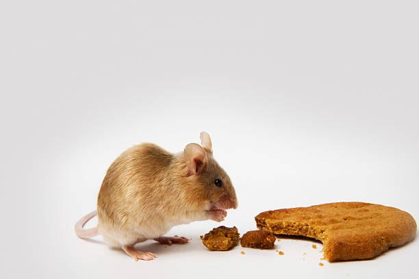 Maus Essen einen Cookie – Foto