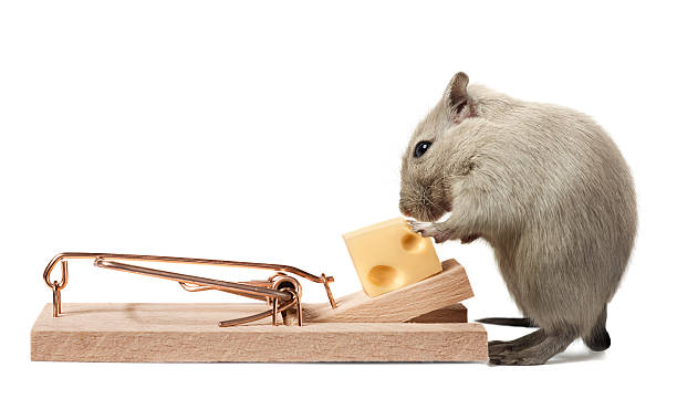 Mouse eating cheese of the trap Related light box: trap stock pictures, royalty-free photos & images