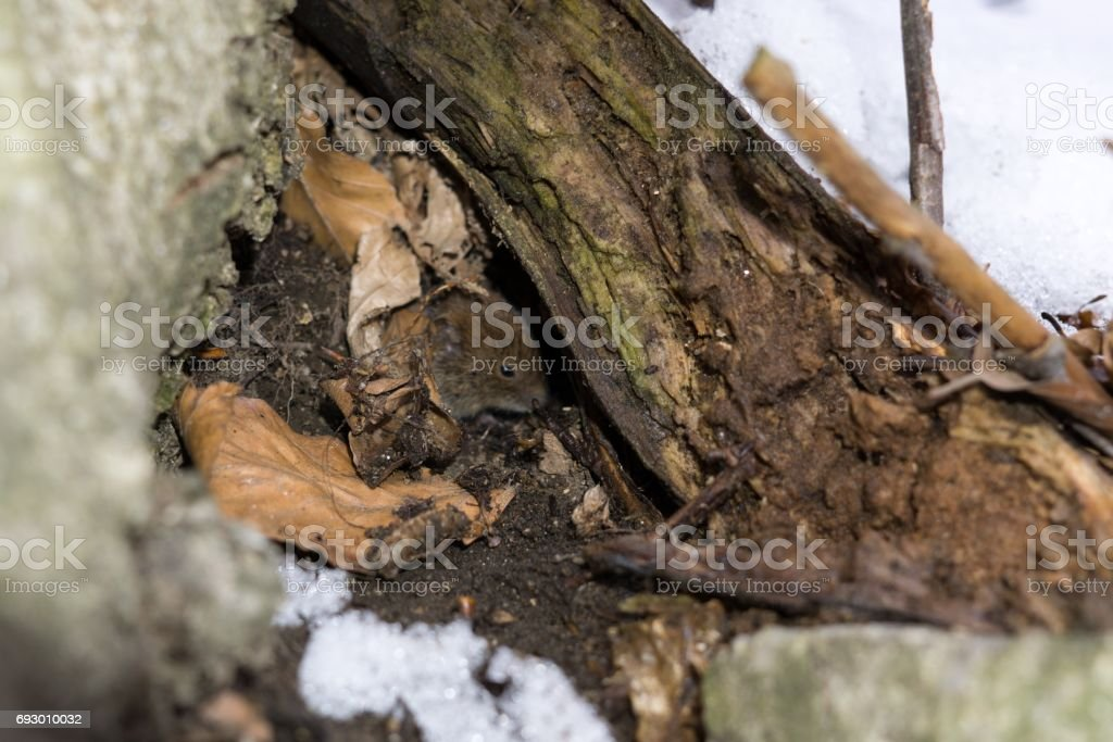 Mouse hiding under the tree. stock photo