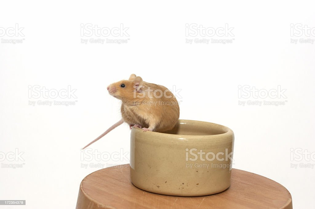 Mouse in a bowl begging royalty-free stock photo
