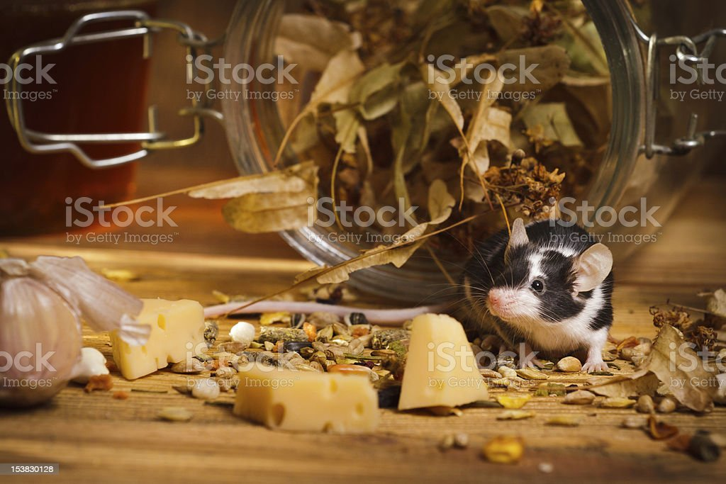 Mouse in basement feel cheese royalty-free stock photo