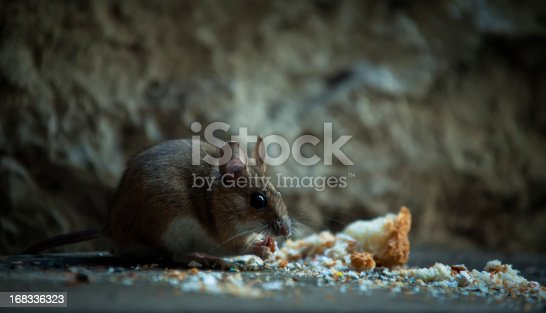 Small mouse eating crumb in a basement