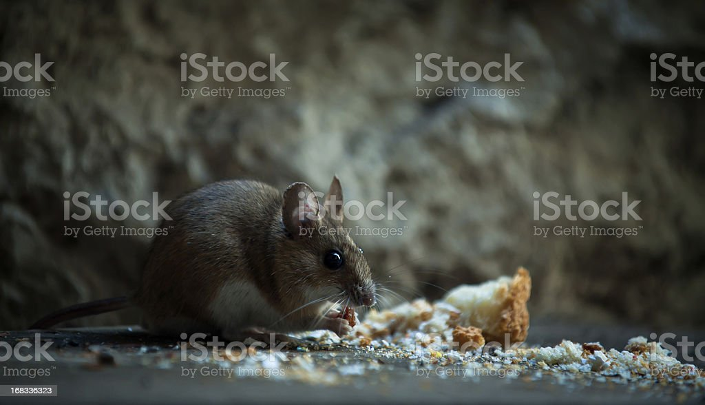 Mouse in basement stock photo