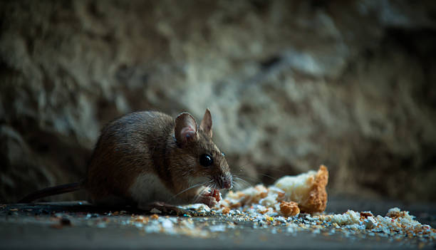 Mouse in basement Small mouse eating crumb in a basement rodent stock pictures, royalty-free photos & images
