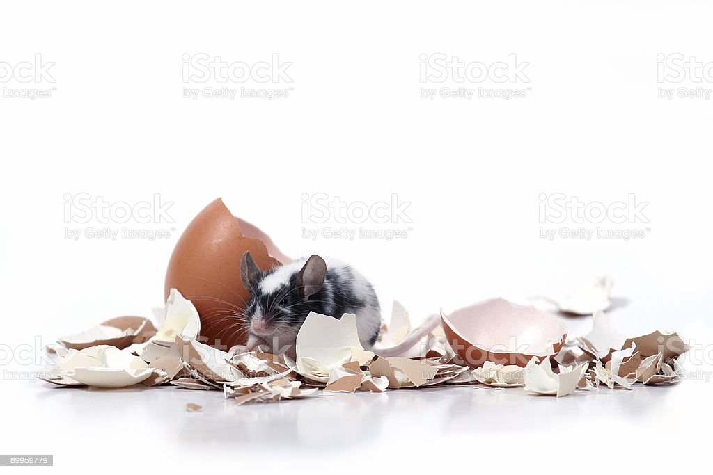mouse in broken eggshells stock photo