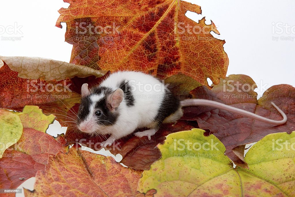 Mouse in Leafs royalty-free stock photo