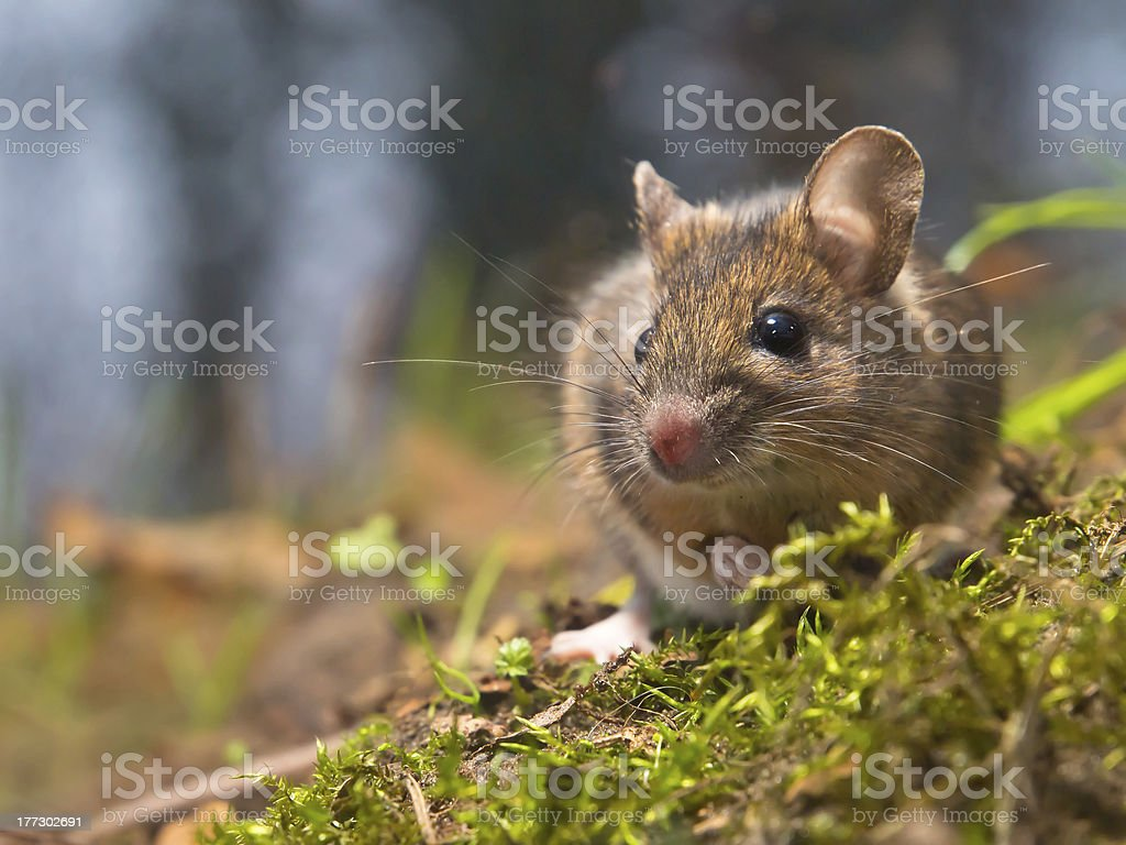 mouse in natural habitat stock photo