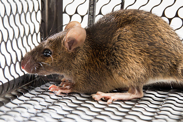 Mouse in the Cage stock photo