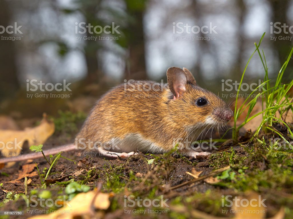 mouse in the forest stock photo