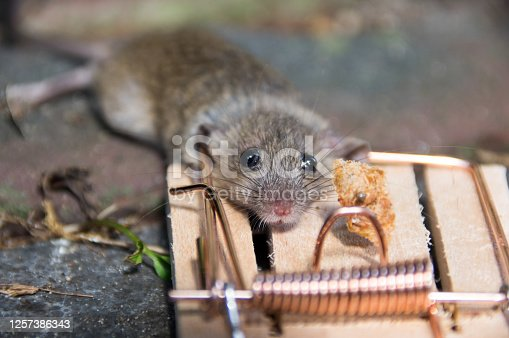 Mouse in close up, cached in a mousetrap