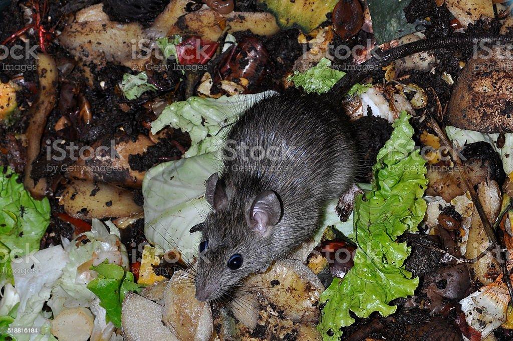 mouse in trash bin stock photo