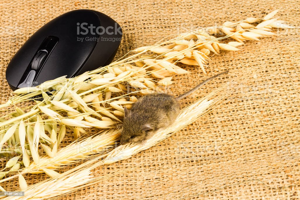 mouse, input equipment and spikelets of cereals stock photo