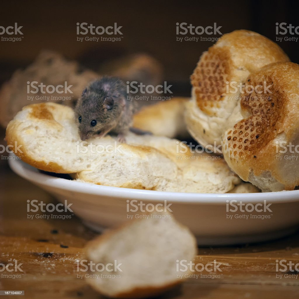 mouse is eating in kitchen stock photo