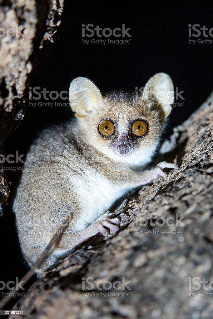 Mouse Lemur Aka Mort stock photo