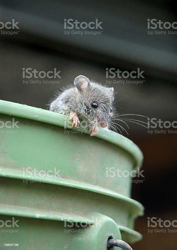 Mouse on bucket stock photo
