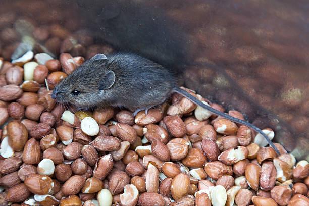 Cтоковое фото Мыши на орехи