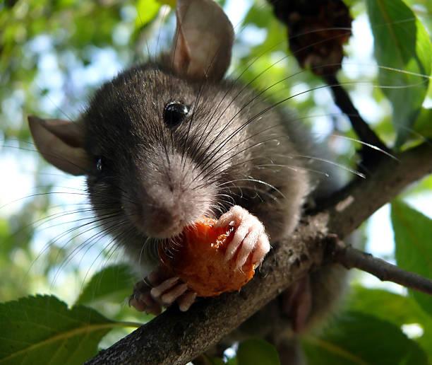 mouse on-plumtree - zwetschgenmus stock-fotos und bilder