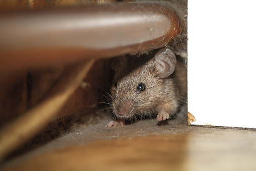Close up shot of mouse peeking out of the dusty hole behind white furniture and under copper pipe.  One paw is raised up like he is greeting.