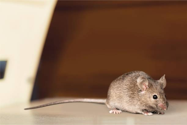 Mouse. Gray mouse animal on background rodent stock pictures, royalty-free photos & images