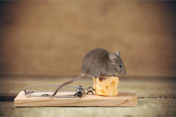 Mouse. Grey mouse and Mouse trap with cheese rodent stock pictures, royalty-free photos & images
