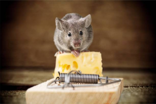 mouse. - trap house stock pictures, royalty-free photos & images