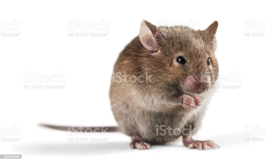 Mouse. stock photo