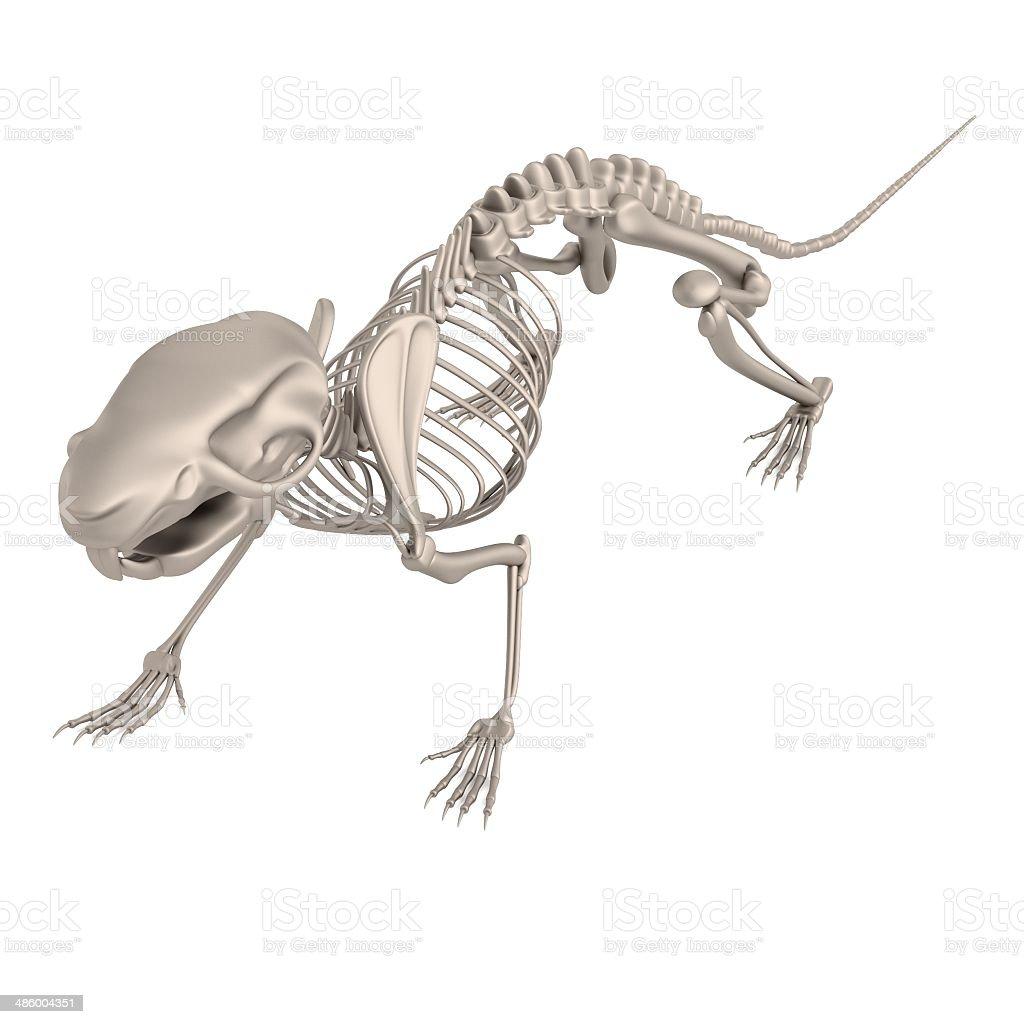 Fotografía de Esqueleto De Ratón y más banco de imágenes de Anatomía ...