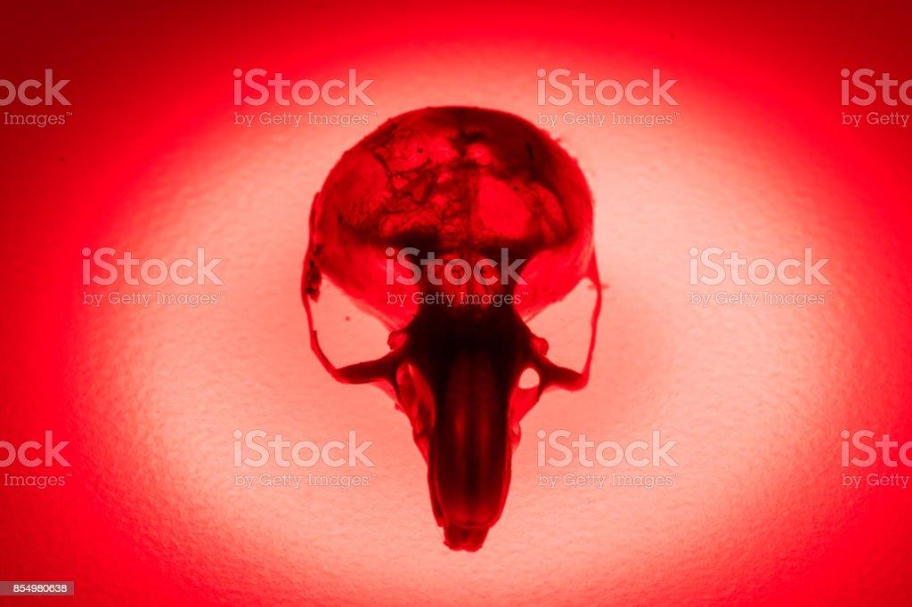 Mouse skull skeleton stock photo