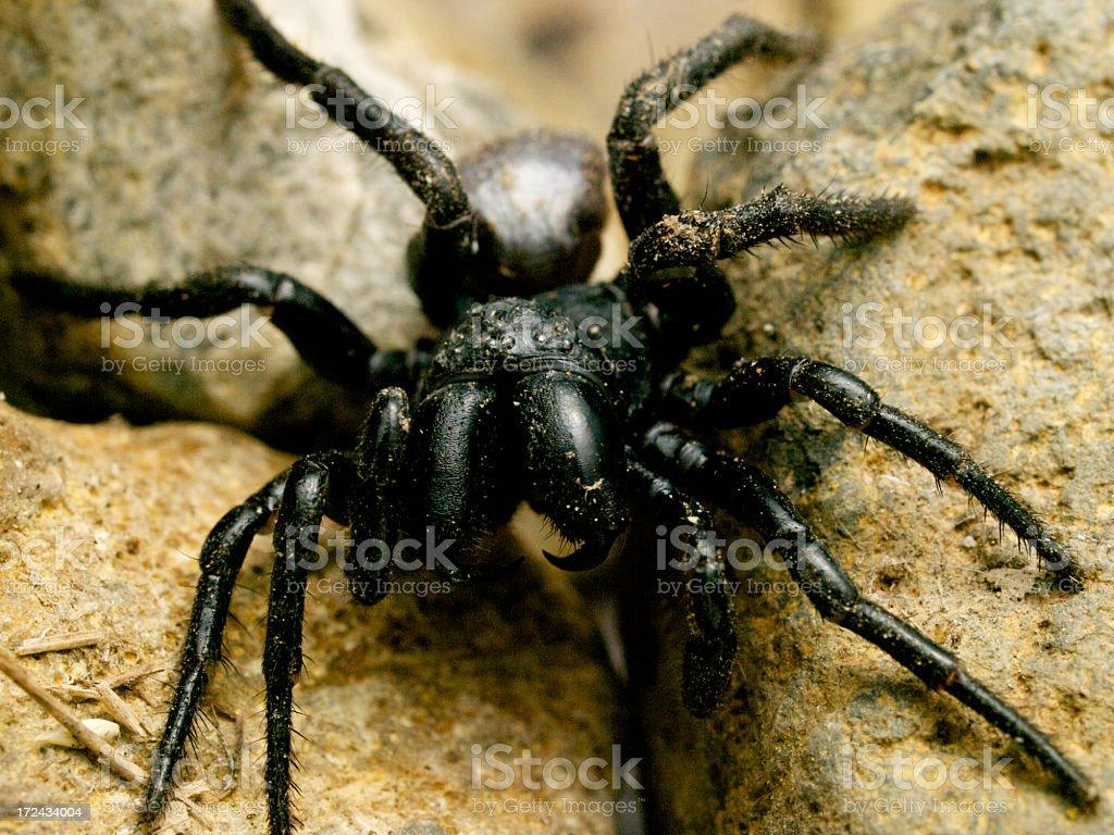 Mouse spider Australia royalty-free stock photo